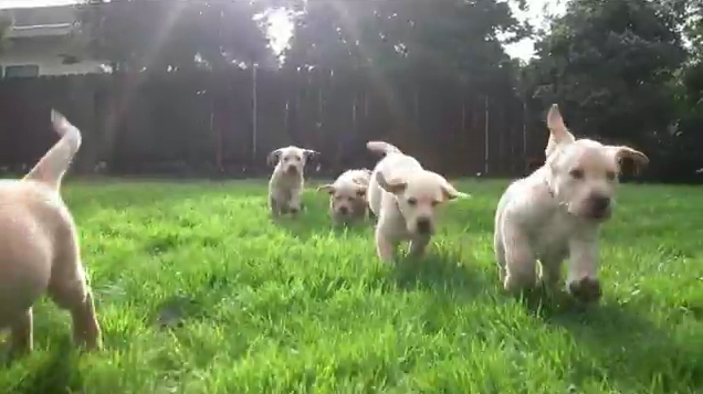 labrador puppies in slow motion