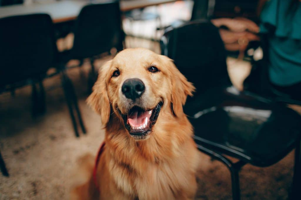 A golden retriever smiles because their owner followed our Thanksgiving pet safety tips