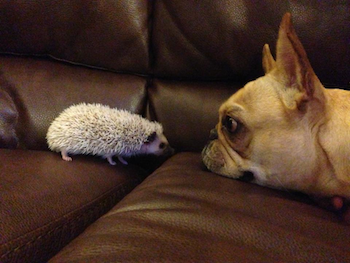 Thistle the hedgehog and Piggy the French Bulldog