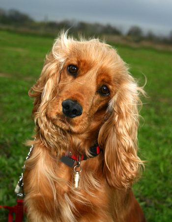 A Cocker Spaniel looks concerned as a storm approaches. // Photo credit: iStock