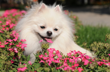 Pomeranian in a flower bed: Rover.com blog // Photo credit: iStock