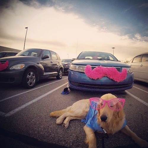 Looking good! This Golden Retriever is all about looking good during his Lyft ride. // Rover.com Blog