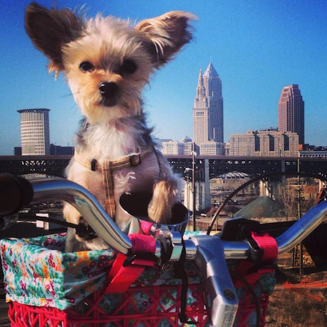 A lucky Yorkie who commutes both by Lyft and by bicycle // Rover.com Blog