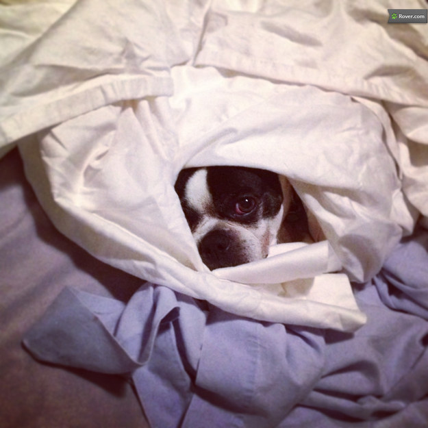 Boston Terrier Dog Kennel
