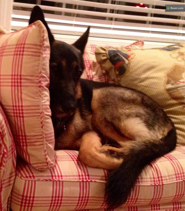 German Shepherd puppy dog sitting