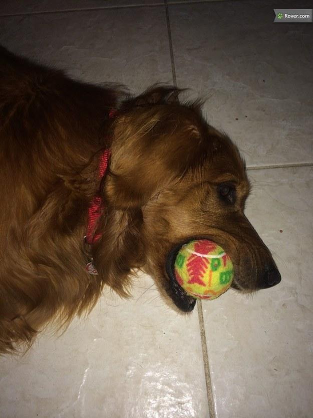 Golden Retriever Dog boarding