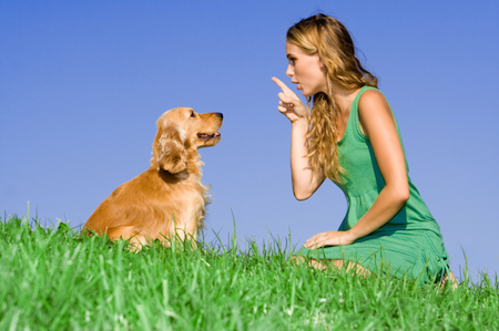 A Golden Retriever gets trained // Photo credit: iStock