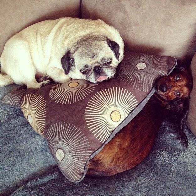pug sitter dachshund boarding