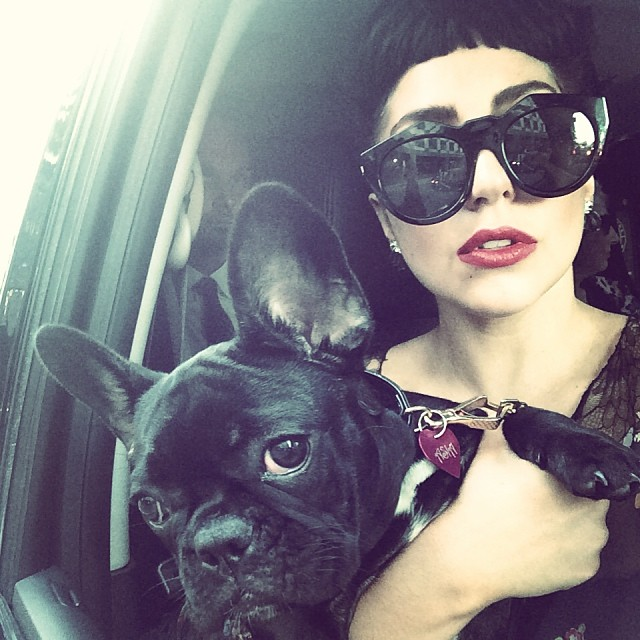 Lady Gaga and french bulldog