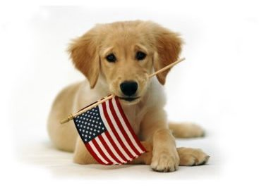 All American dog, lab puppy, labrador retriever