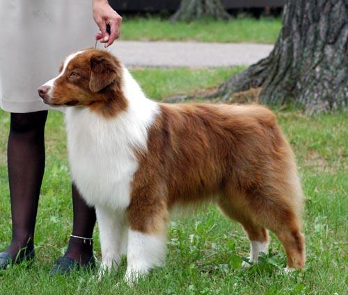 Australian shepherd; aussie dog