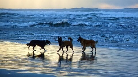 Beach dogs at sunset