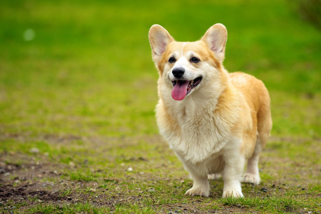 Corgi dog - do you have a corgi personality