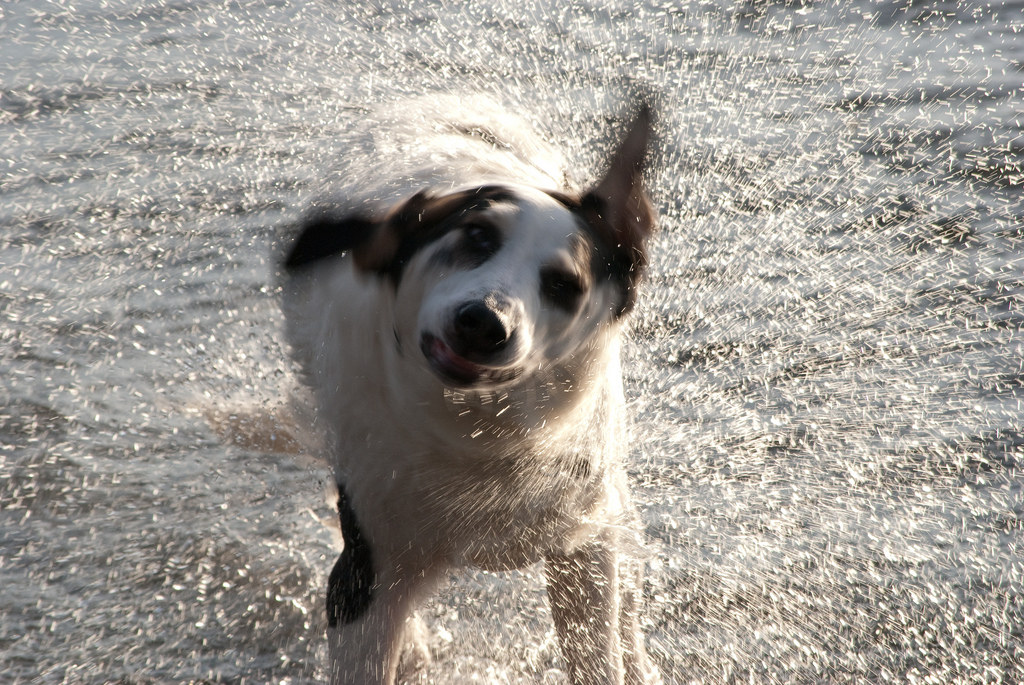 Dog Shaking Head Ears Hot