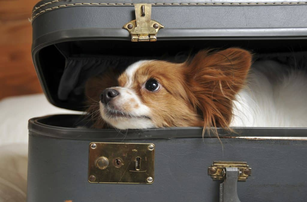 pet in suitcase doesn't want owner to leave - separation anxiety in dogs