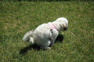 fluffy dog pooping - dog poop bags