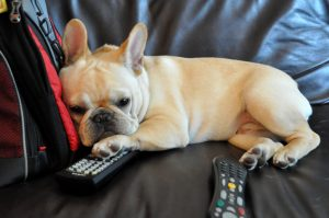French bulldog with remotes - toys to keep dogs busy