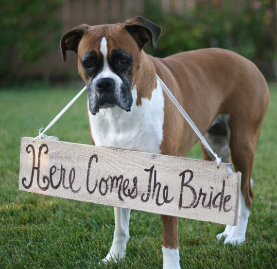 boxer in wedding, dog with bride sign