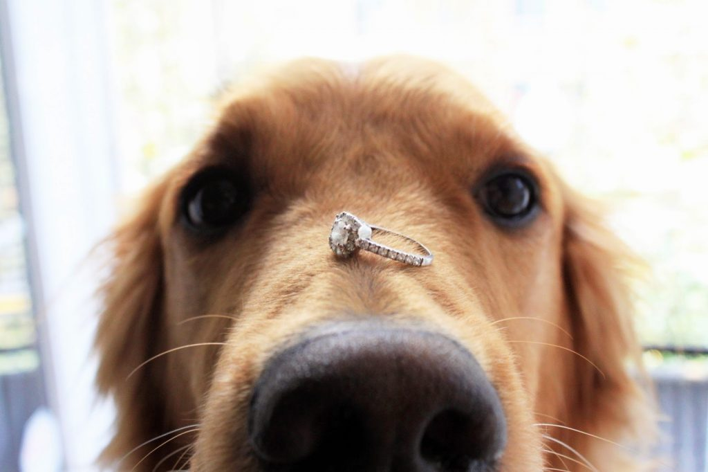 having your dog in your wedding, golden retriever with wedding ring, engagement ring