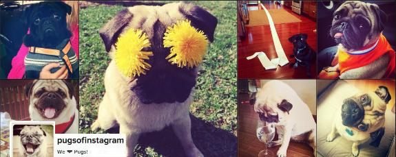 pugsofinstagram