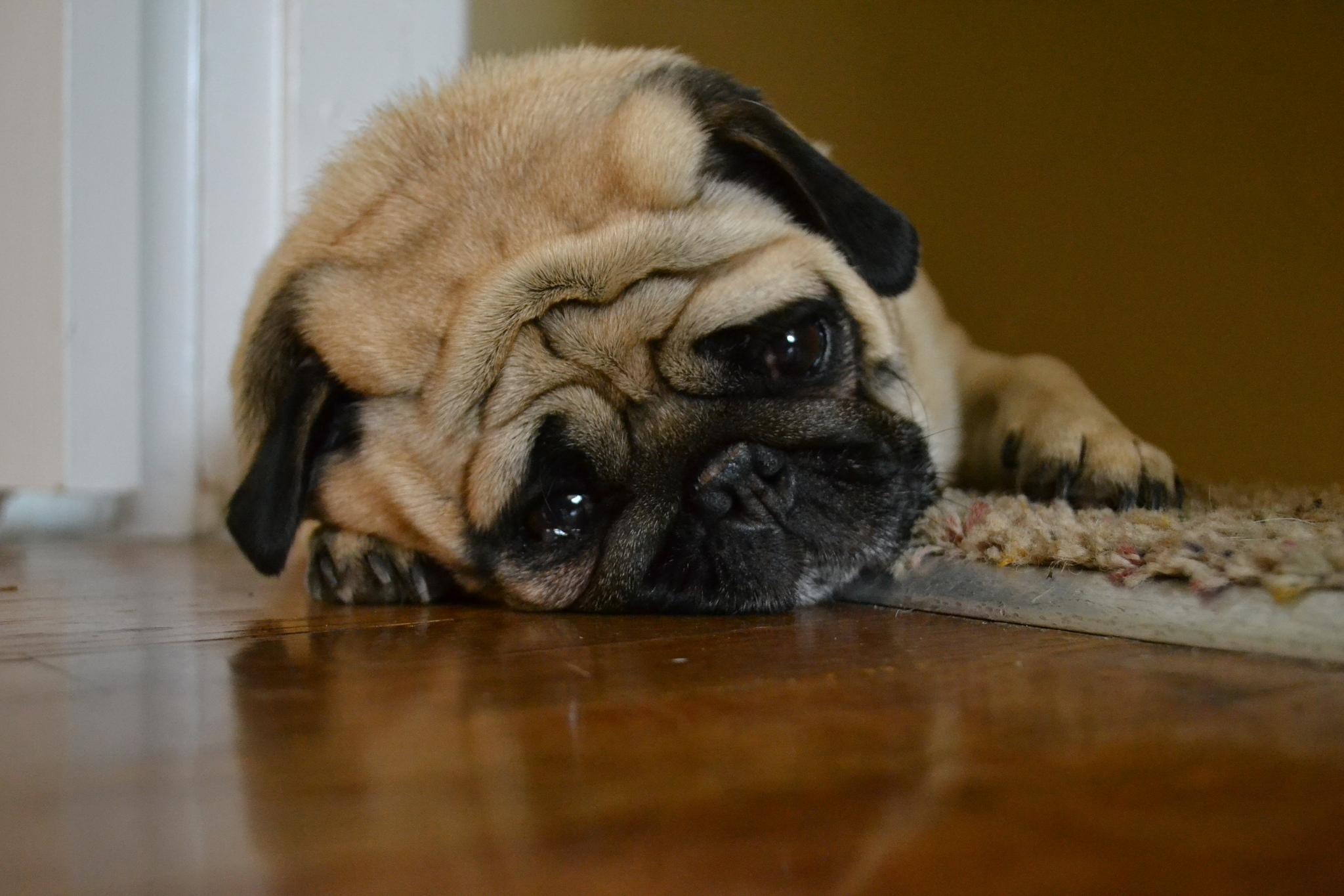 Wears Emotions On Sleeve Sad Pug Hannah K