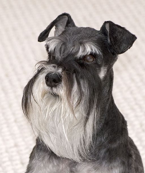 Behind The Beard The Schnauzer Personality Explained