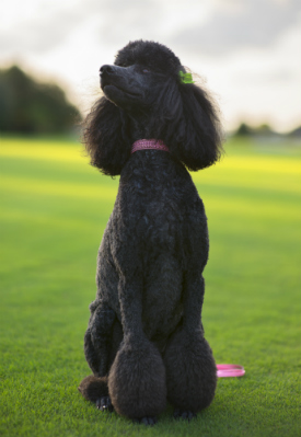 Hypoallergenic Dogs The Truth About Dog Breeds Good For