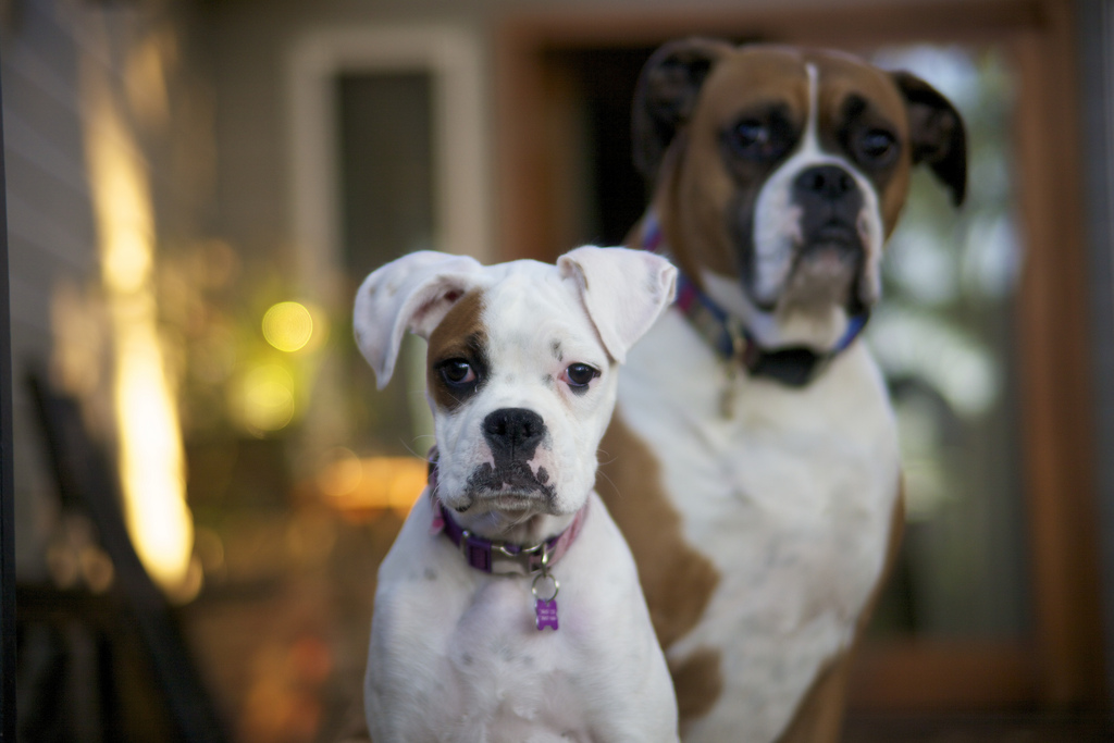 Two boxer dogs - boxer personality