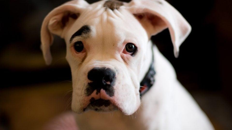 White boxer dog - boxer personality