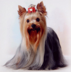 yorkie-hypoallergenic-hair-vs-fur