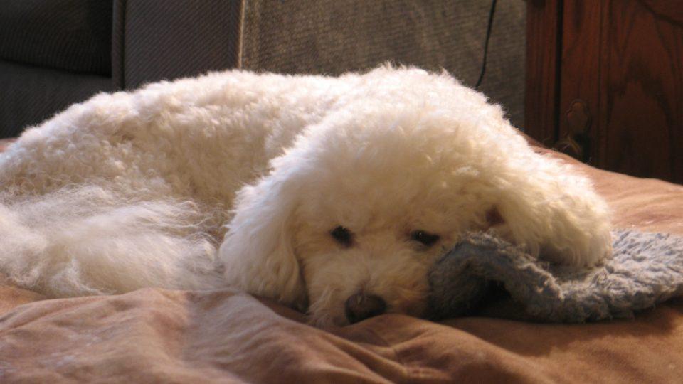 Benji - My dog ate chocolate