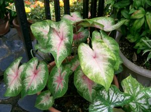 Caladium - poisonous plants for dogs