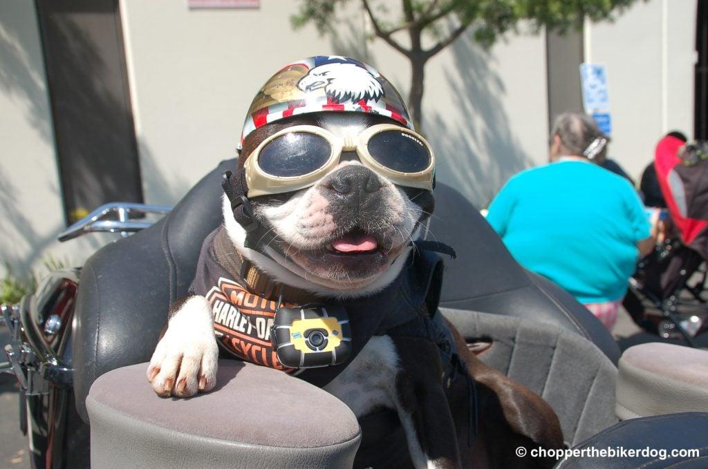Chopper in goggles - Chopper the Biker Dog, therapy dog