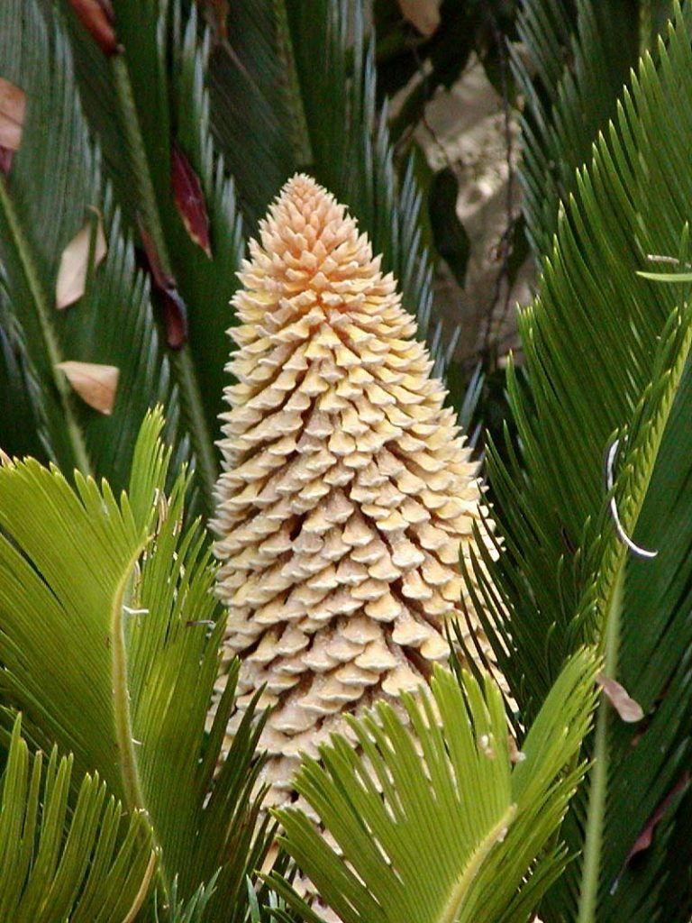 Cycas Revoluta - poisonous plants for dogs