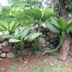 Dieffenbachia - poisonous plants for dogs