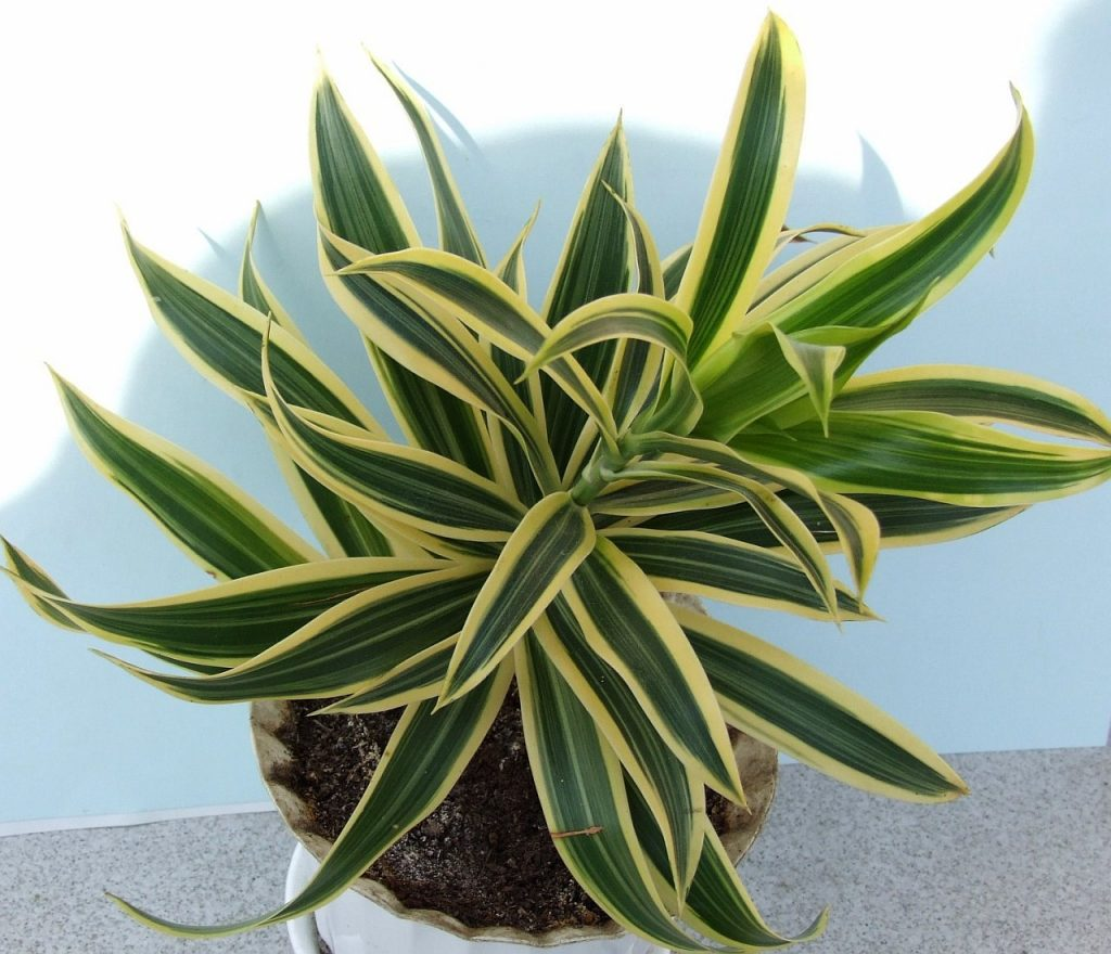 Dracaena Fragrans - poisonous houseplants for dogs