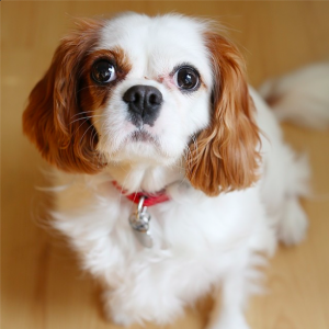 King Charles dog - cute dog photos