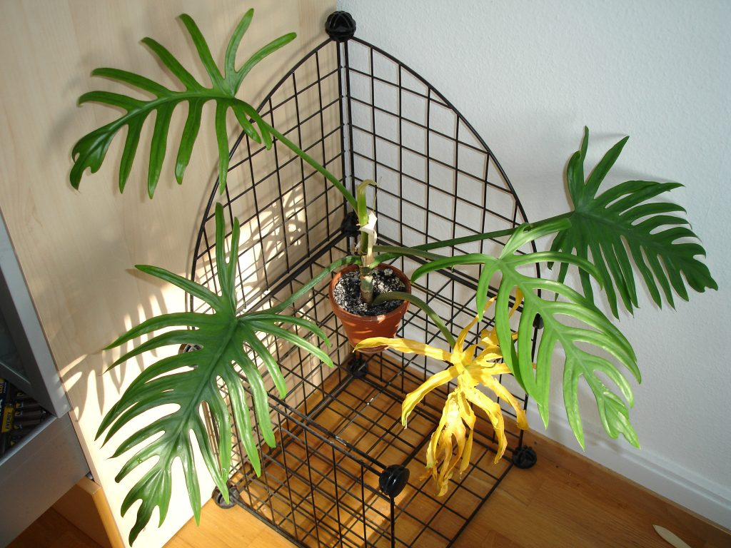 Philodendron - poisonous plants for dogs