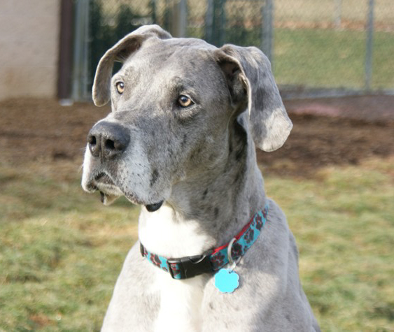 Winston the Great Dane - best dogs for apartments