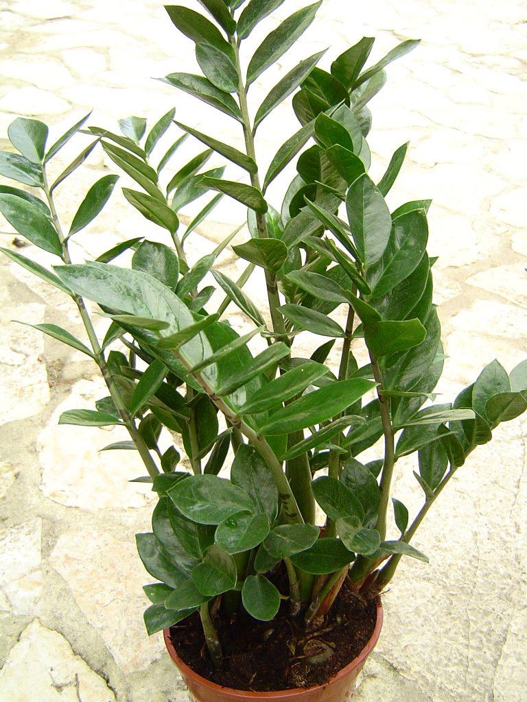 Zamioculcas - poisonous plants for dogs