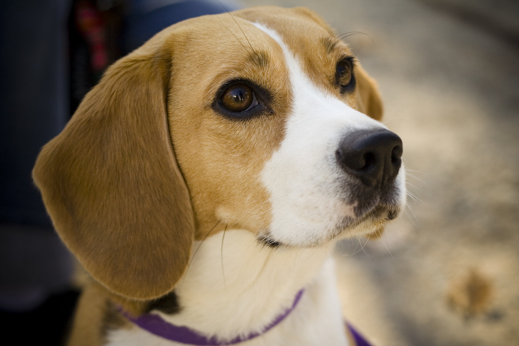 The beagle personality...