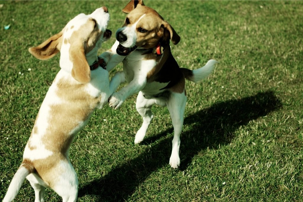 Beagles playing - beagle temperament