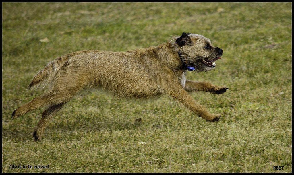 Border terrier running - terrier personality