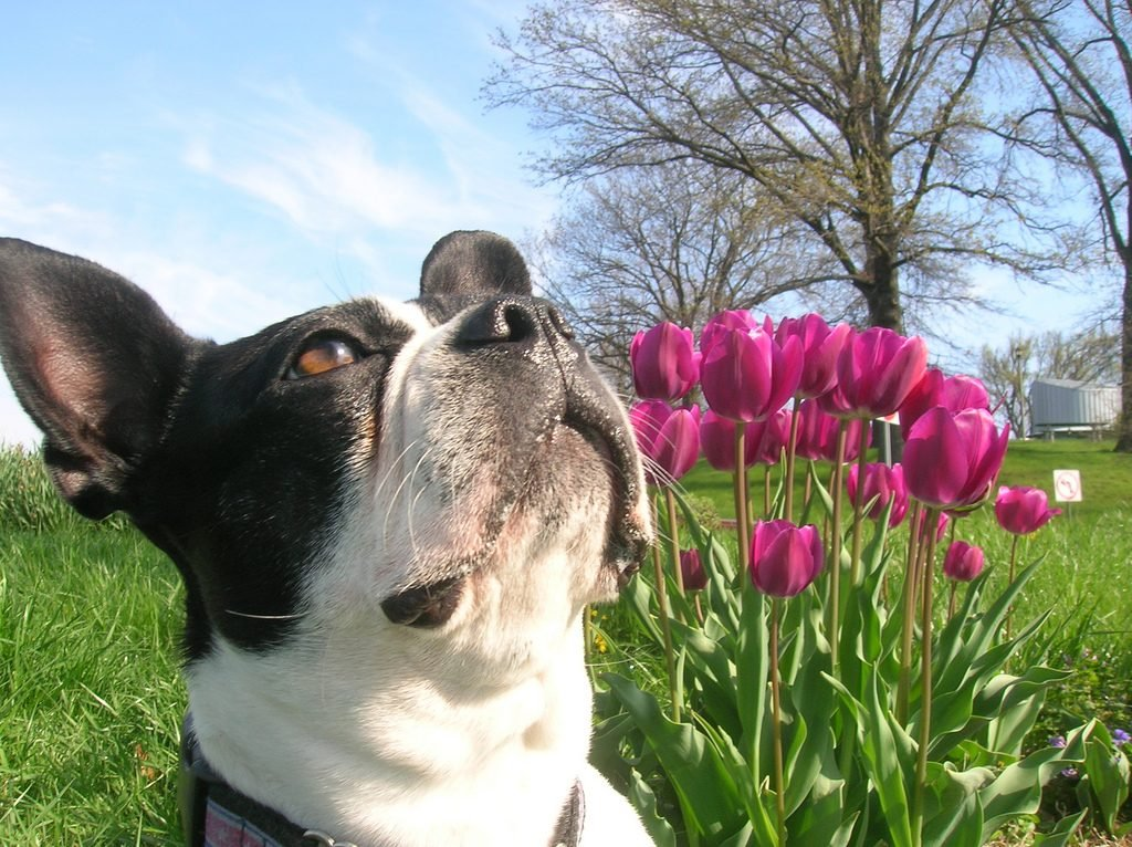 Smelly Boston terriers - Boston terrier personality