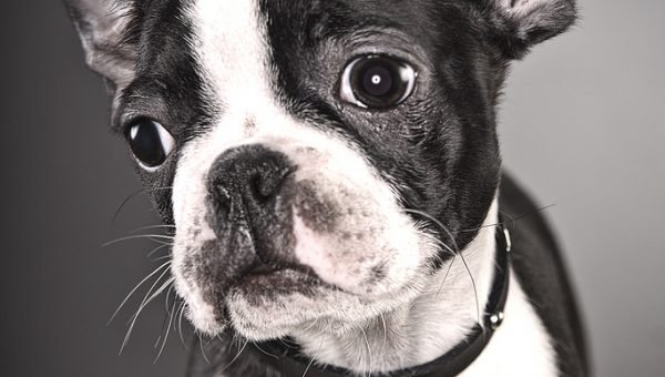 Dog Breed Comparison: Boston Terrier vs. French Bulldog