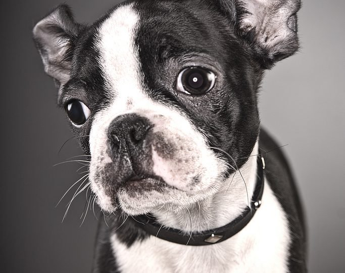 Boston terrier gentleman - boston terrier personality