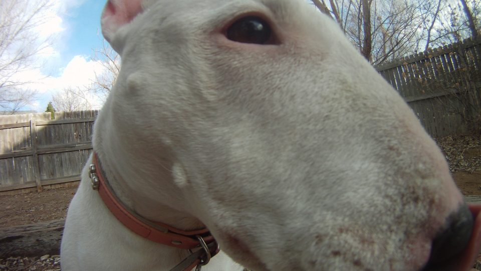 Fisheye view of a bull terrier - dog commercials