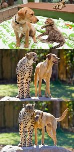 Cheetah dog friendship