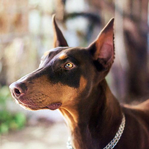 Doberman Pinscher Smartest Dog Breed