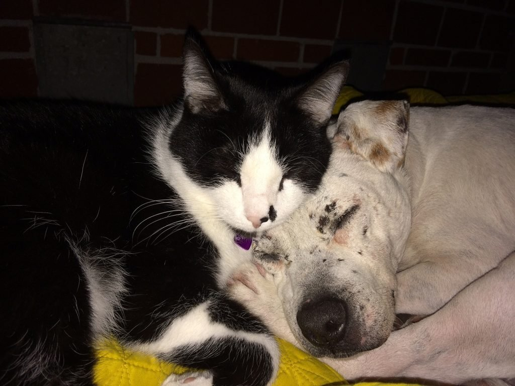 Pit bull and cat snuggle - pit bull personality